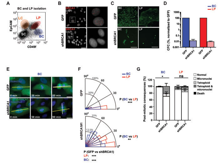 BRCA1 suppression disrupts the division axis in human mammary LPs and BCs isolated from non-disease human mammary tissue.