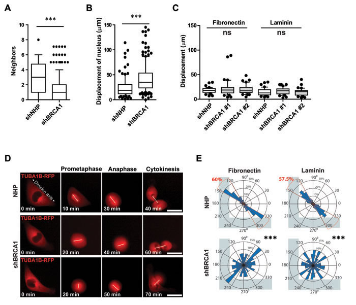 BRCA1 is required for intrinsic spindle positioning in isolated cells.