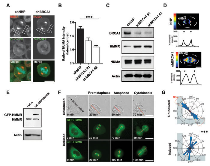 BRCA1 establishes cortical asymmetry of dynein motor complexes.