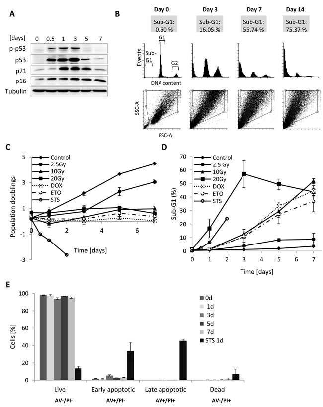 DNA content, growth and cell death analysis of MRC5 cells for different γ-irradiation regimes.