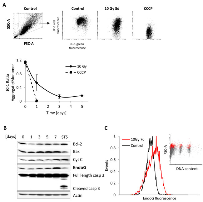 Mitochondrial Outer Membrane Permeabilization analysis in irradiated MRC5 cells.