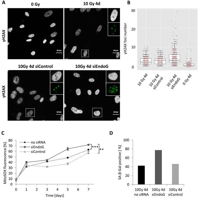 γH2AX foci number in irradiated MRC5 cells with EndoG depletion.