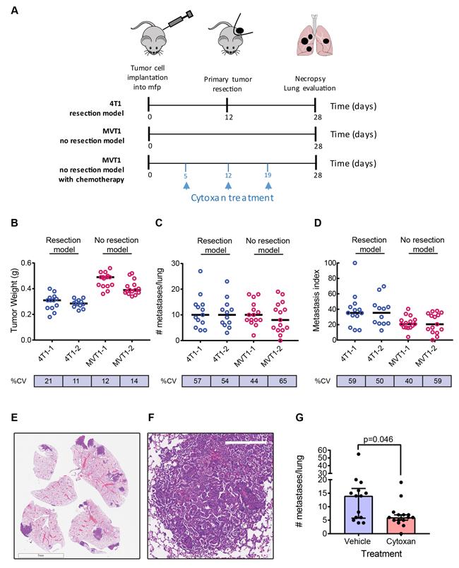 Metastasis in representative models.