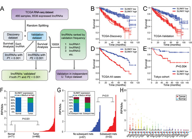 Identification and characterization of prognostic lincRNA SLINKY in ccRCC by large-scale mining of RNA-seq datasets.