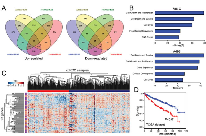 Transcriptome (RNA-seq) analysis of SLINKY knockdown identifies gene signatures relevant to proliferation and prognostic in tumor specimens.