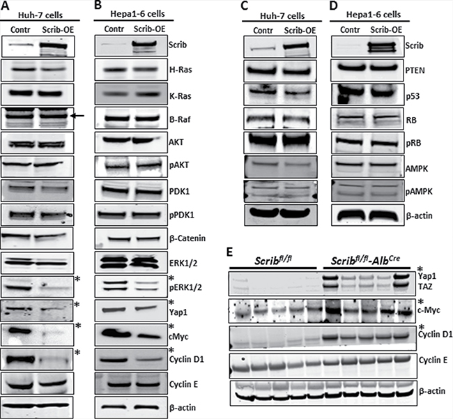 Downregulation of Yap1, c-Myc and cyclin D1 in response to Scrib-OE.