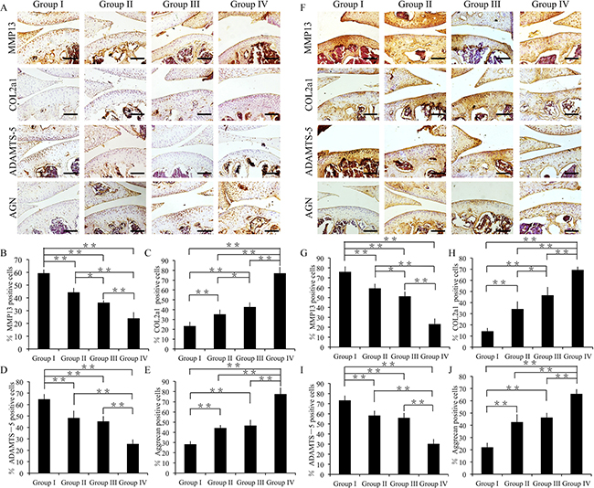 Effect of crizotinib on cartilage matrix degradation in vivo.