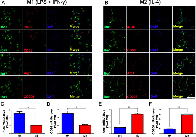 Phenotype maintenance of M1 and M2 microglia at 24 h after removal of intervention.