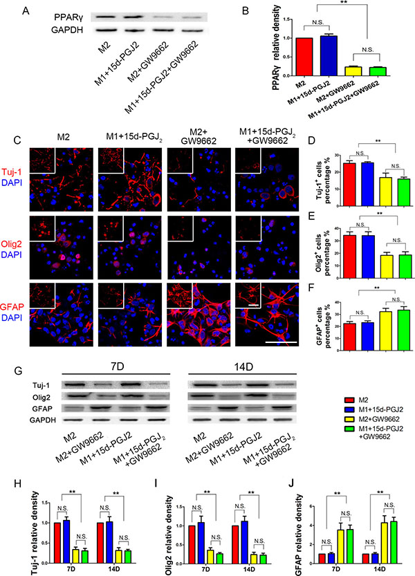 Inhibition of PPARγ reduced NSPCs differentiation induced by M2 microglia towards neurons and oligodendrocytes.