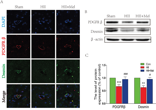 Melatonin prevented the loss of pericytes after neonatal HII.