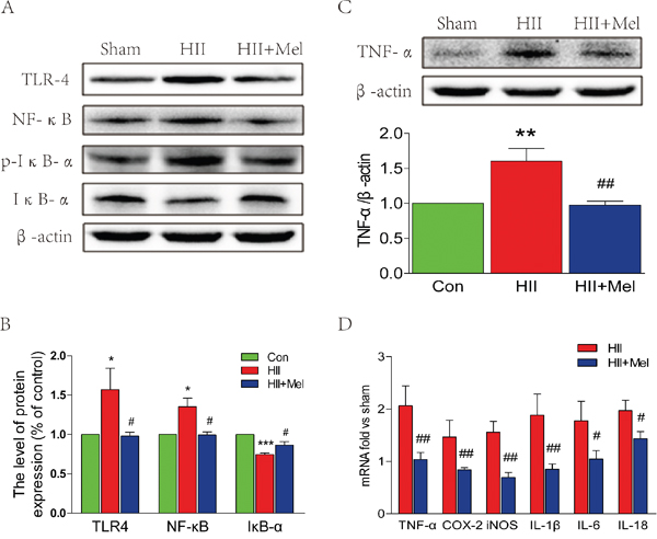 Melatonin suppressed TLR4/NF-κB signaling pathway proteins expression after neonatal HII.