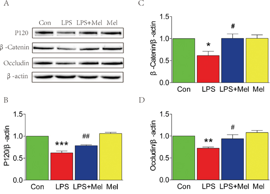 Melatonin attenuated the decreases of tight junction and adherens junction proteins induced by LPS in the transwell co-culture of BV-2 cells and HUVECs.