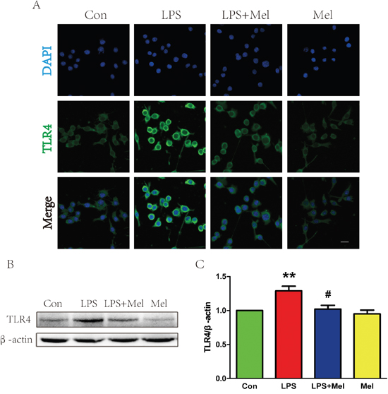 Melatonin decreased the expression of TLR4 protein induced by LPS in BV-2 cells.