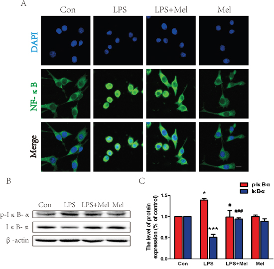 Melatonin inhibited NF-κB translocation induced by LPS in BV-2 cells.