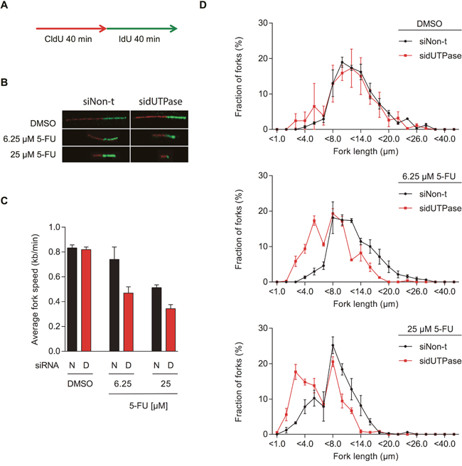 5-FU treatment decreases replication fork speed, which is enhanced by dUTPase depletion.