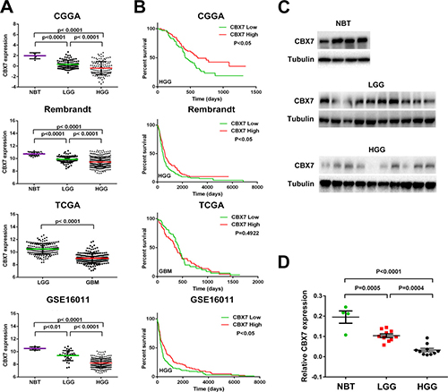 CBX7 mRNA level is decreased accompanied by the elevation of tumor grade and low expression of CBX7 is associated with poor prognosis in part of glioma cases.