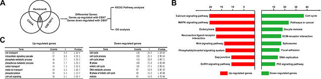 The CBX7-associated genes were chiefly enriched in cell cycle related pathways.
