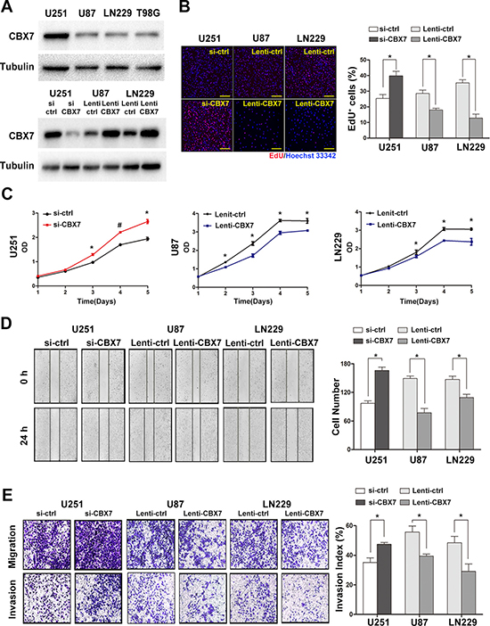The up or downregulation of CBX7 expression by lentivirus or siRNAs impacts the proliferation, migration and invasion of GBM cells in vitro.