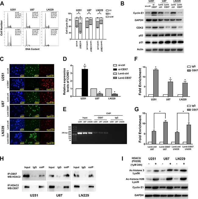 CBX7 induces G1/S arrest through binding and silencing CCNE1 promoter which mediated by the recruit of HDAC2.