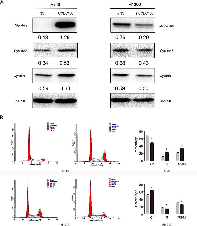 CCDC106 upregulated Cyclin A2 and Cyclin B1.