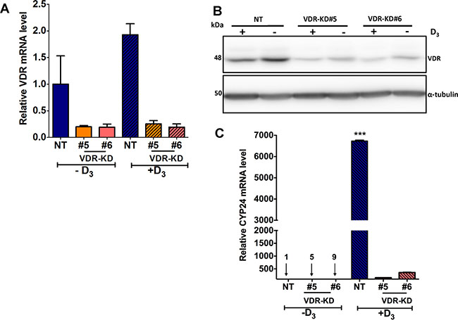 VDR knockdown abrogates vitamin D signaling in MCF-7 cells.