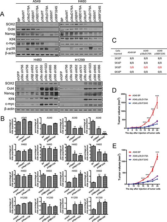 Activated p38γ and p38δ suppress the stem cell properties of NSCLC cells.