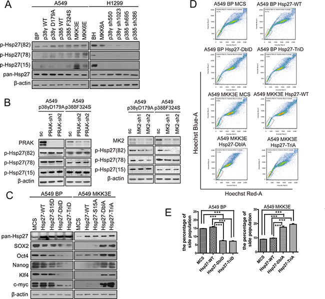 Activated p38 suppresses the stem cell-like properties of NSCLC cells through MK2-dependent phosphorylation of Hsp27 at Ser78 and Ser82.