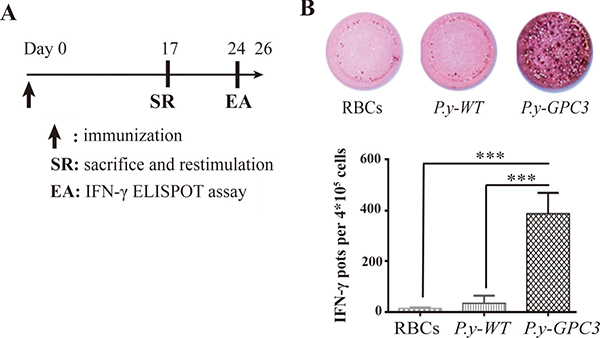 Identification of cytotoxic T cell responses in mice with P.y-GPC3 immunization.