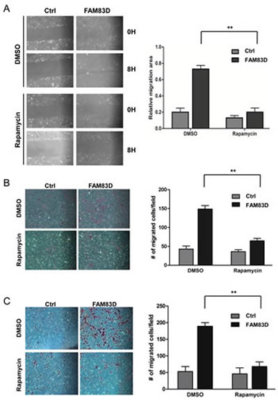 mTOR inhibition by rapamycin alleviates the enhanced migration and invasion caused by ectopic overexpression of FAM83D.