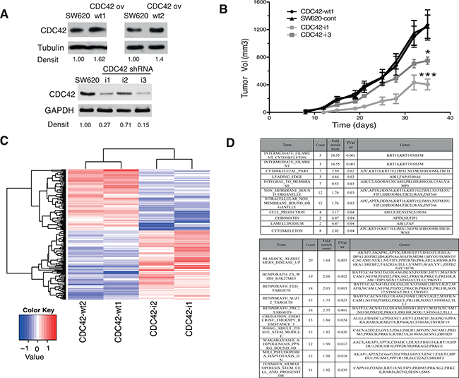 In vivo and transcriptional features of SW620 cell clones with altered CDC42 expression.