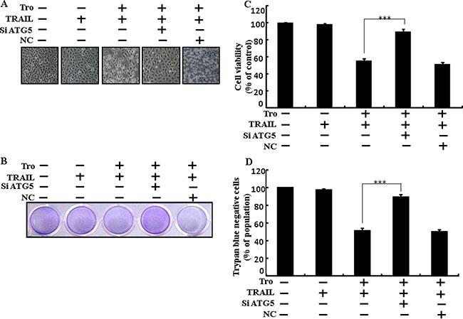 Troglitazone enhanced TRAIL-induced apoptosis is blocked by genetic inhibition of autophagy.
