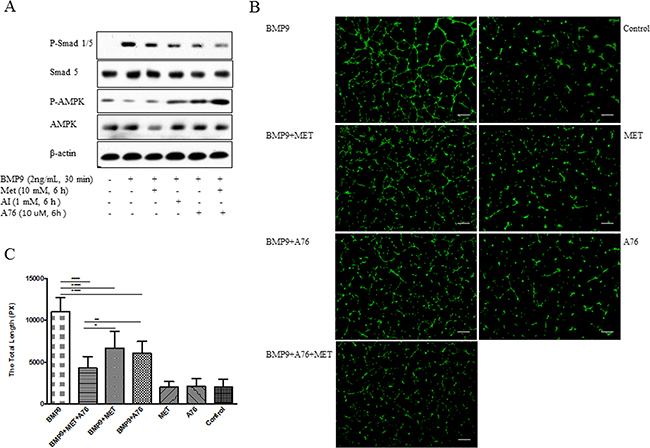 Inhibition of BMP9-induced phosphorylation of Smad1/5 and tube formation by different AMPK activators.