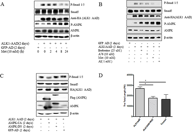 Inhibition of active mutant of ALK1 by AMPK.