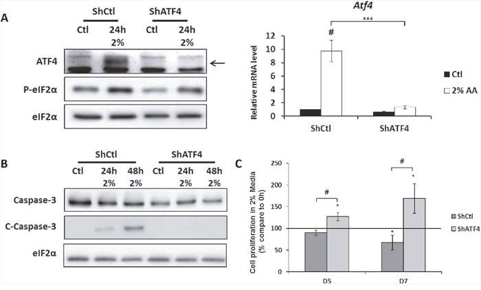 The knock-down of ATF4 expression in MEFs increases cell survival during amino acid deprivation.