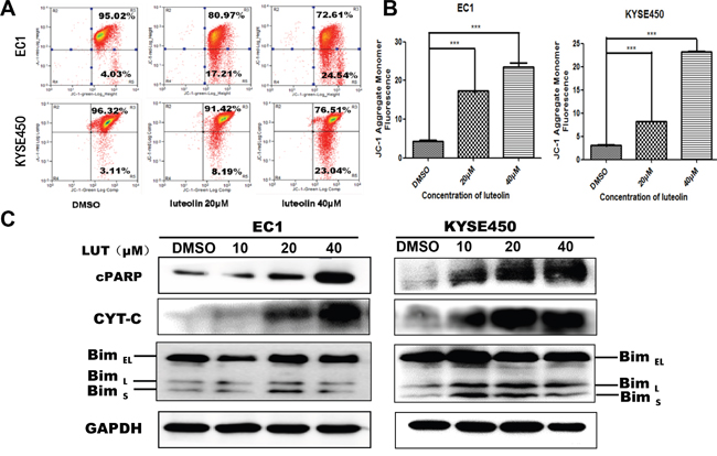 Mitochondrial membrane potential decreased and the expression mitochondrial apoptosis related proteins (cPARP, CYT-C, BimL and BimS) increased after being treated with luteolin.