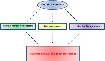 Heat shock proteins contribute to myeloma survival and chemoresistance via their roles in multiple pathways known to be important in myeloma.