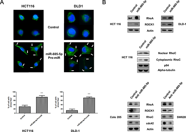 Effect of miR-885-5p on formation of cell protrusions.