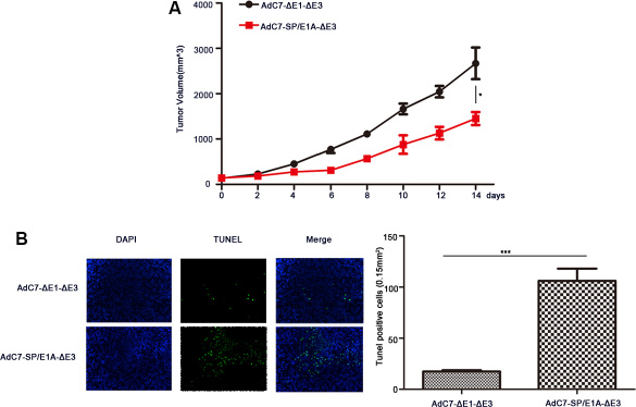 The antitumor efficacy of AdC7-SP/E1A-ΔE3 via systemic administration.