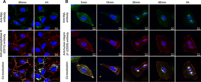 Co-localization of aminopeptidase N and integrin β1 and MpL in MCF10A neoT cells.