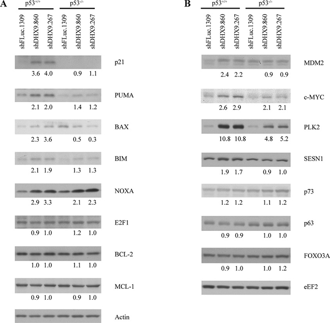 Consequences of DHX9 knockdown on protein levels of p53 targets in HCT116 p53+/+ and p53−/− cells.