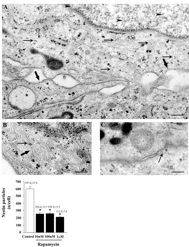 Rapamycin dose-dependently reduces nestin immune-cytochemistry.