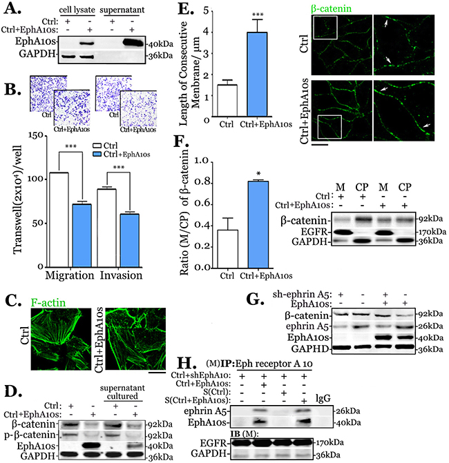 Secretary EphA10s inhibits migration and invasion by stabilizing of membrane-associate β-catenin in MDA-MB-231 cells.