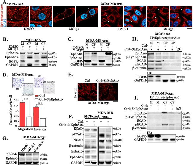 Cytoplasmic EphA10 promotes invasion and migration by associating with ECAD phosphorylation.