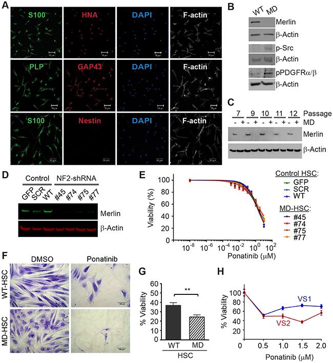 Ponatinib decreases HSC viability.