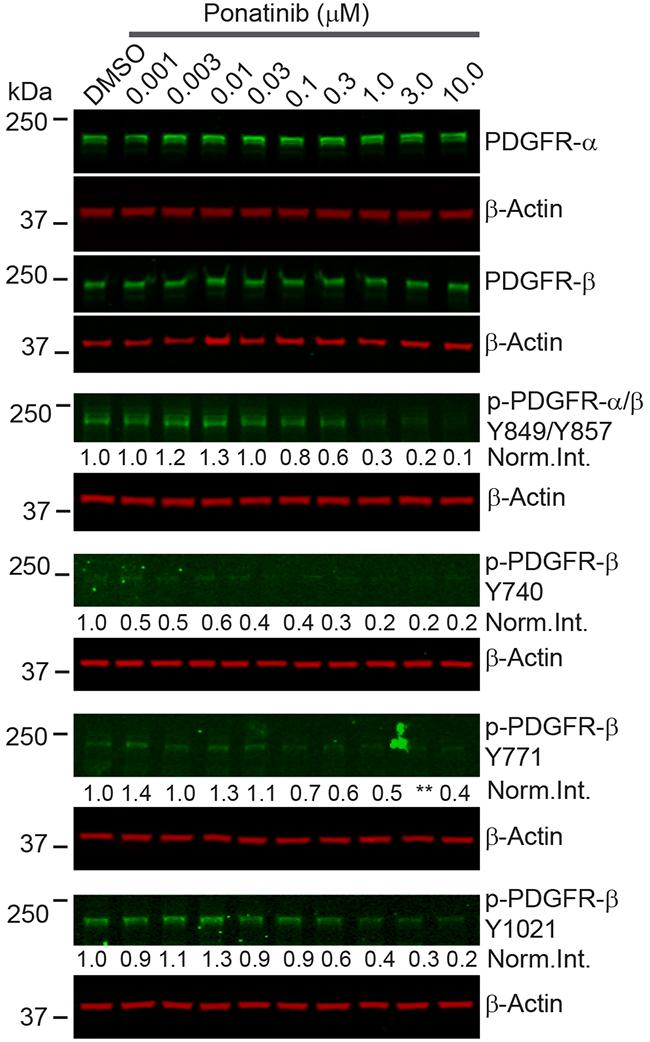 Ponatinib inhibited PDGFRα/β phosphorylation in merlin-deficient HSC.