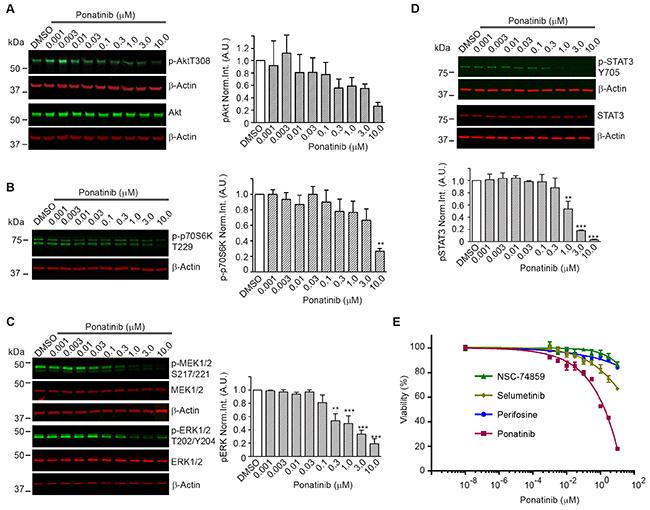 Downstream signaling pathways inhibited by ponatinib in merlin-deficient HSC.