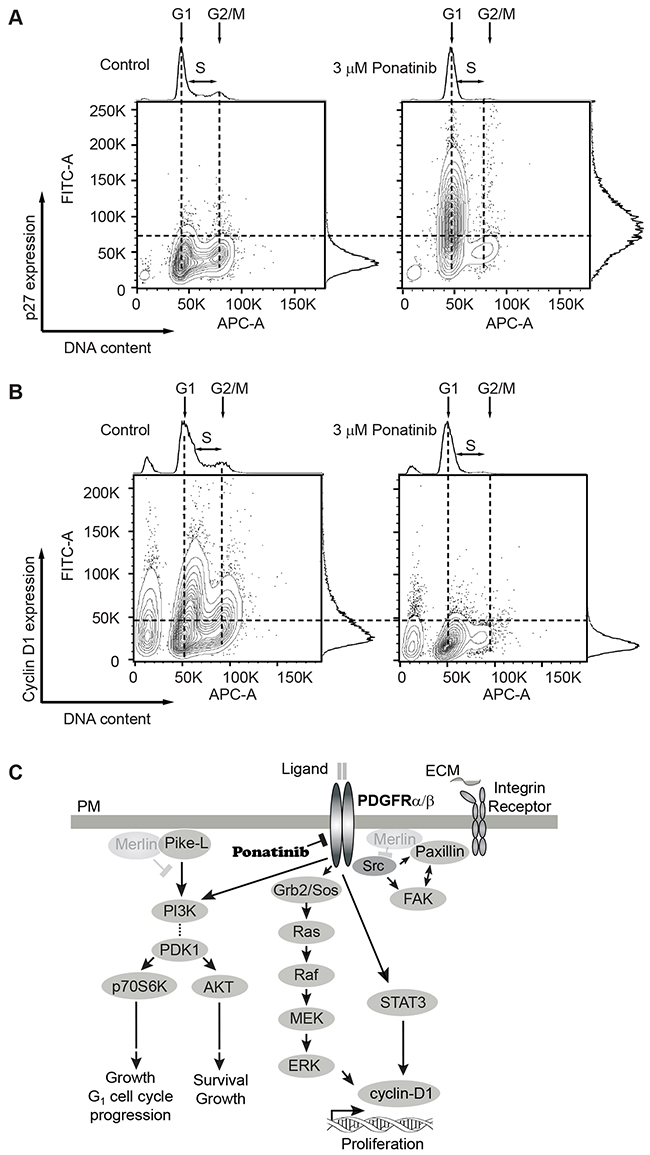 Analysis of G1 regulatory proteins during the cell-cycle in merlin-deficient HSC treated with ponatinib.
