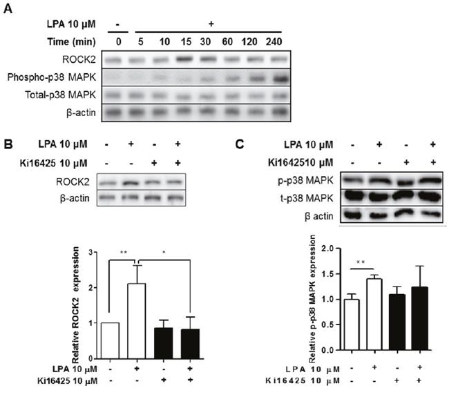 LPA induced ROCK2 and p38 MAPK activation via LPAR signaling in splenocytes.