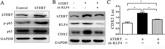 hTERT could interact with p65 to indirectly stimulate CDX2 expression.