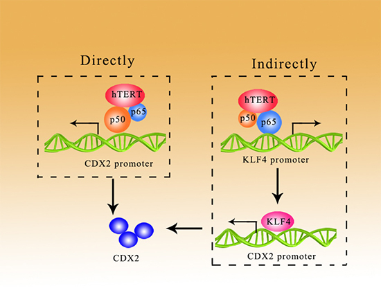 hTERT could promote the expression of CDX2 in a direct/indirect manner.